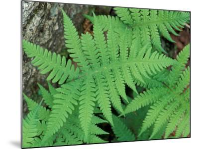 Long Beech Fern, White Mountains National Forest, Waterville Valley, New Hampshire, USA-Jerry & Marcy Monkman-Mounted Photographic Print