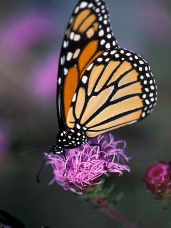 Monarch Butterfly on Northern Blazing Star Flower, New Hampshire, USA-Jerry & Marcy Monkman-Framed Photographic Print