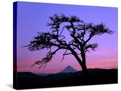 Windswept Pine Tree Framing Mount Hood at Sunset, Columbia River Gorge National Scenic Area, Oregon-Steve Terrill-Stretched Canvas Print