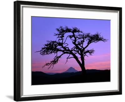 Windswept Pine Tree Framing Mount Hood at Sunset, Columbia River Gorge National Scenic Area, Oregon-Steve Terrill-Framed Photographic Print