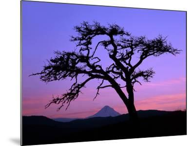 Windswept Pine Tree Framing Mount Hood at Sunset, Columbia River Gorge National Scenic Area, Oregon-Steve Terrill-Mounted Photographic Print