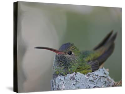 Detail of Buff-Bellied Hummingbird Sitting on Nest Atop Cactus Plant, Raymondville, Texas, USA-Arthur Morris-Stretched Canvas Print
