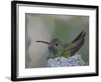 Detail of Buff-Bellied Hummingbird Sitting on Nest Atop Cactus Plant, Raymondville, Texas, USA-Arthur Morris-Framed Photographic Print