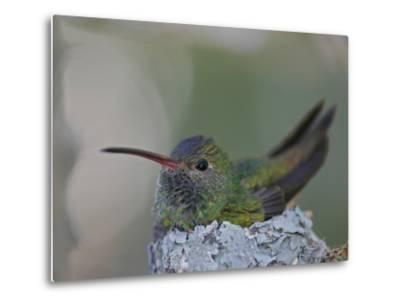 Detail of Buff-Bellied Hummingbird Sitting on Nest Atop Cactus Plant, Raymondville, Texas, USA-Arthur Morris-Metal Print