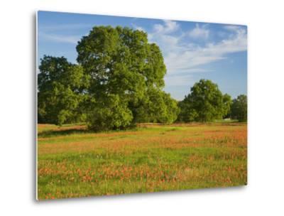 Paint Brush in Fields Near Gay Hill, Texas, USA-Darrell Gulin-Metal Print