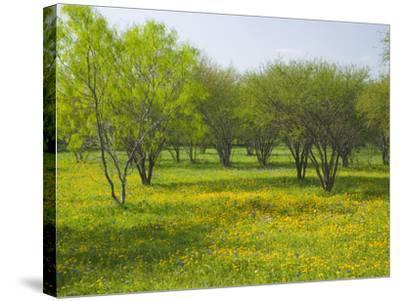 Oak Trees and Wildflowers Bloom Near Cuero, Texas, USA-Darrell Gulin-Stretched Canvas Print