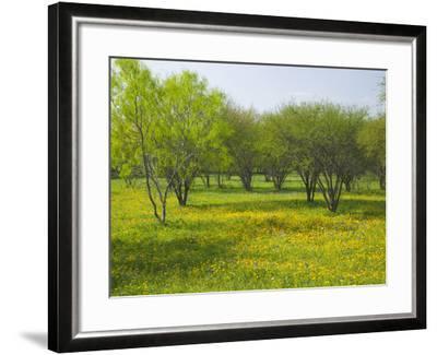 Oak Trees and Wildflowers Bloom Near Cuero, Texas, USA-Darrell Gulin-Framed Photographic Print