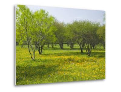 Oak Trees and Wildflowers Bloom Near Cuero, Texas, USA-Darrell Gulin-Metal Print