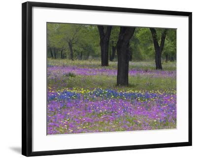 Field of Texas Blue Bonnets, Phlox and Oak Trees, Devine, Texas, USA-Darrell Gulin-Framed Photographic Print