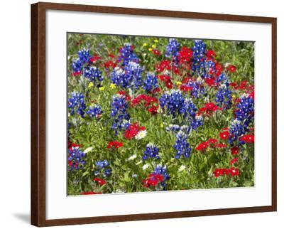 Texas Blue Bonnets and Red Phlox in Industry, Texas, USA-Darrell Gulin-Framed Photographic Print