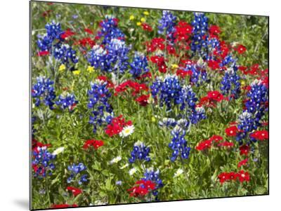 Texas Blue Bonnets and Red Phlox in Industry, Texas, USA-Darrell Gulin-Mounted Photographic Print