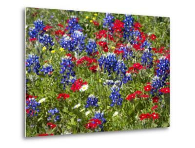 Texas Blue Bonnets and Red Phlox in Industry, Texas, USA-Darrell Gulin-Metal Print