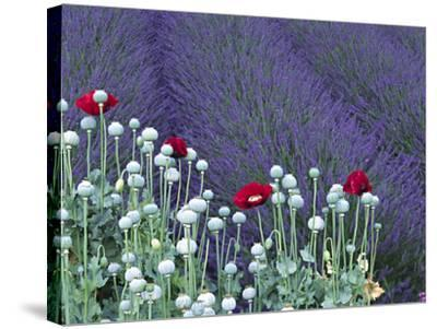 Lavender Field and Poppies, Sequim, Olympic National Park, Washington, USA-Charles Sleicher-Stretched Canvas Print