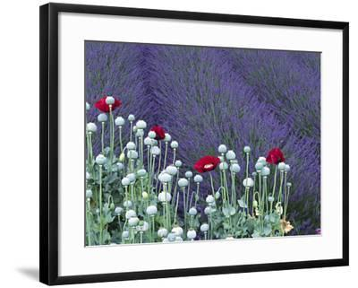 Lavender Field and Poppies, Sequim, Olympic National Park, Washington, USA-Charles Sleicher-Framed Photographic Print