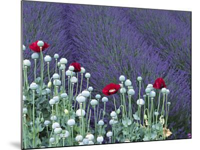 Lavender Field and Poppies, Sequim, Olympic National Park, Washington, USA-Charles Sleicher-Mounted Photographic Print