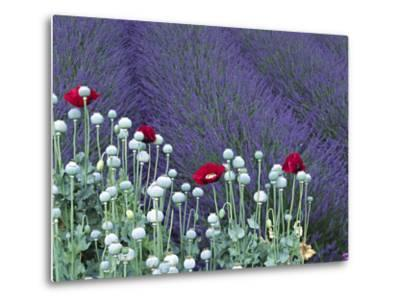 Lavender Field and Poppies, Sequim, Olympic National Park, Washington, USA-Charles Sleicher-Metal Print