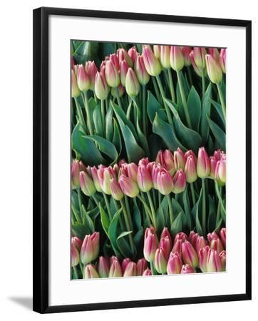 Pink Tulips, Skagit Valley, Washington, USA-John & Lisa Merrill-Framed Photographic Print