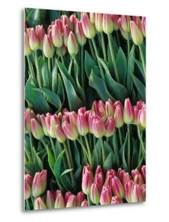 Pink Tulips, Skagit Valley, Washington, USA-John & Lisa Merrill-Metal Print