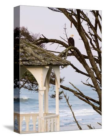 Eagle Perched at Entrance to Beach Trail, Kalaloch Lodge, Olympic National Park, Washington, USA-Trish Drury-Stretched Canvas Print