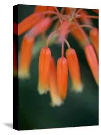 Flaming Flower Buds I-Nicole Katano-Stretched Canvas Print