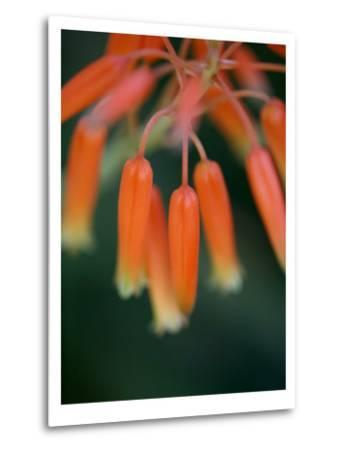 Flaming Flower Buds I-Nicole Katano-Metal Print