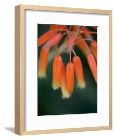 Flaming Flower Buds I-Nicole Katano-Framed Photo