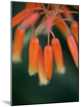 Flaming Flower Buds I-Nicole Katano-Mounted Photo