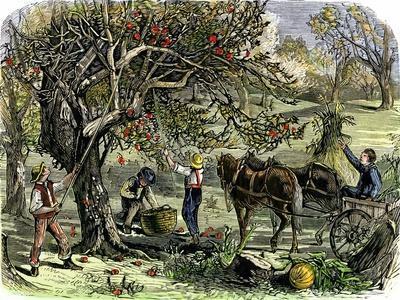 Picking Apples, a Farm Scene Near Pride's Bridge, Maine, c.1800--Framed Giclee Print