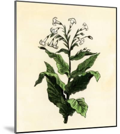 Tobacco Plant--Mounted Giclee Print