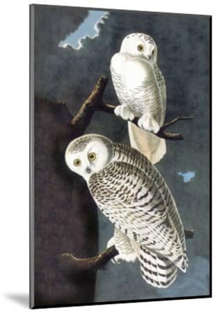 Snowy Owl-John James Audubon-Mounted Art Print
