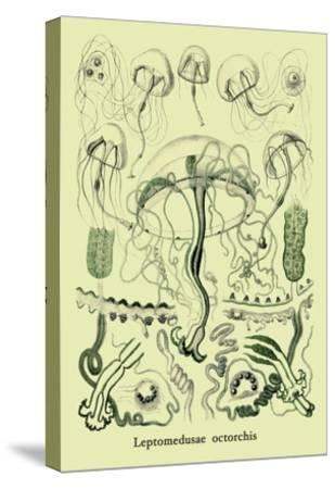 Jellyfish: Leptomedusae Octorchis-Ernst Haeckel-Stretched Canvas Print