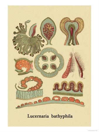 Jellyfish: Lucernaria Bathyphila-Ernst Haeckel-Framed Art Print