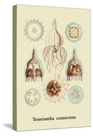 Jellyfish: Tesserantha Connectens-Ernst Haeckel-Stretched Canvas Print