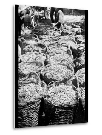 Baskets of Wine Grapes at Richon le Zion--Metal Print