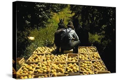 Hauling Crates of Peaches-Russell Lee-Stretched Canvas Print