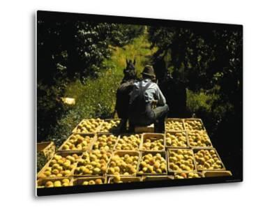 Hauling Crates of Peaches-Russell Lee-Metal Print