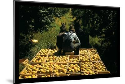 Hauling Crates of Peaches-Russell Lee-Mounted Photo