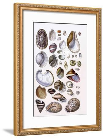 Shells: Gasteropoda and Trachelipoda-G^b^ Sowerby-Framed Art Print