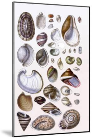Shells: Gasteropoda and Trachelipoda-G^b^ Sowerby-Mounted Art Print