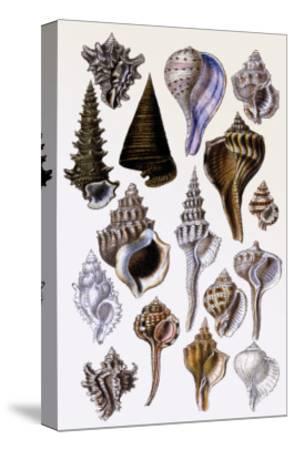 Shells: Trachelipoda-G^b^ Sowerby-Stretched Canvas Print