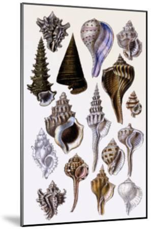 Shells: Trachelipoda-G^b^ Sowerby-Mounted Art Print