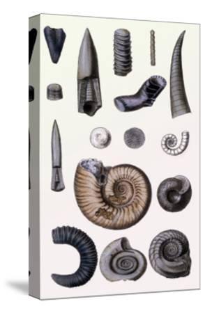 Shells: Cephalopoda-G^b^ Sowerby-Stretched Canvas Print