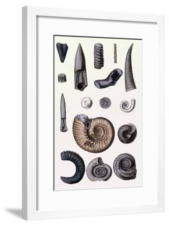Shells: Cephalopoda-G^b^ Sowerby-Framed Art Print