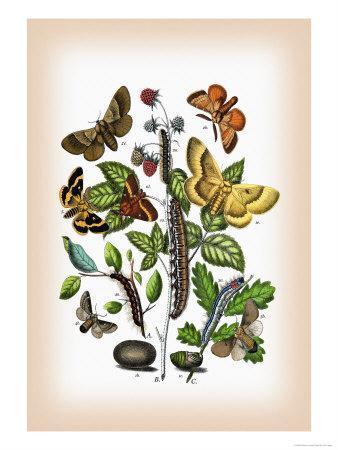 Moths: Eriogaster Rimicola, E. Catax-William Forsell Kirby-Framed Art Print