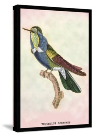 Hummingbird: Trochilus Scuataus-Sir William Jardine-Stretched Canvas Print