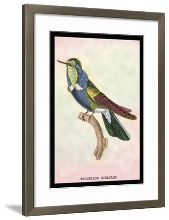 Hummingbird: Trochilus Scuataus-Sir William Jardine-Framed Art Print