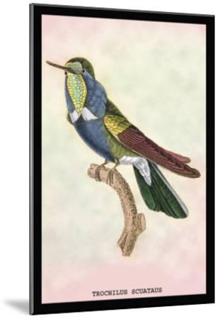 Hummingbird: Trochilus Scuataus-Sir William Jardine-Mounted Art Print