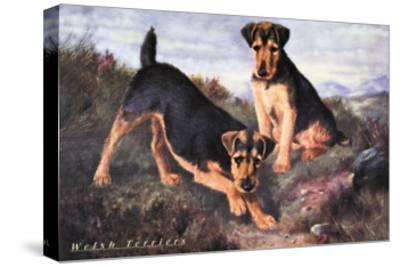 Two Welsh Terriers--Stretched Canvas Print