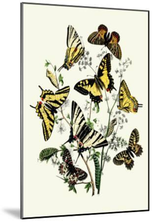 Butterflies: P. Podaliris, P. Alexanor-William Forsell Kirby-Mounted Art Print