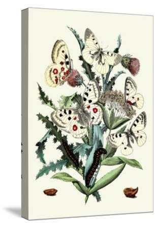 Butterflies: P. Apollo, P. Phoebus-William Forsell Kirby-Stretched Canvas Print